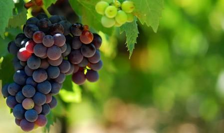 Growing Grapes for Wine